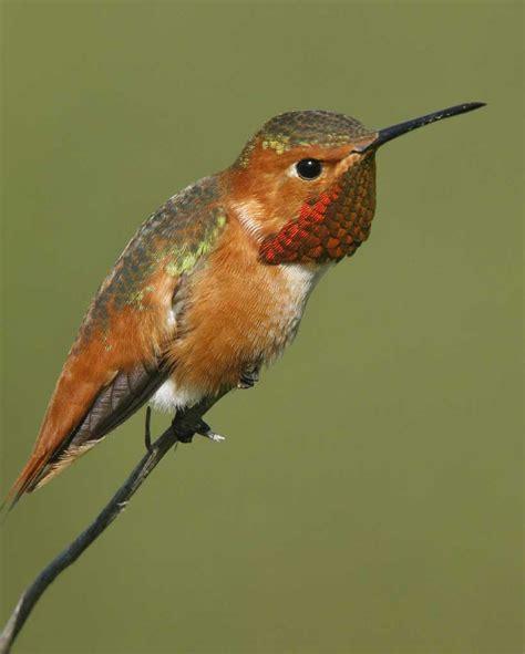 allen s hummingbird audubon field guide