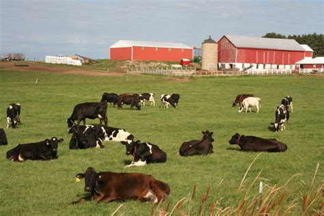dairy farm with holstein cows in pasture and three silos planetware on reddit