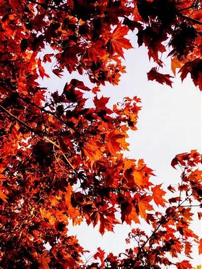Maple Autumn Musim Daun Leaf Ranting Warna