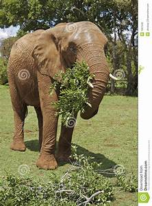 African Elephant Eating Leafy Branches Stock Photo - Image ...