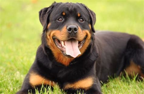 Most Expensive Dog Breed