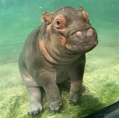 Hippo Adorable Hippopotamus Animals 9gag Animal Instagram