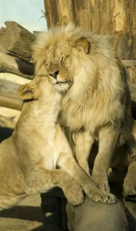 awwww    cute lion lioness king queen