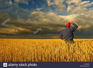 A Farmer Stands In His Field Of Mature Harvest Stage