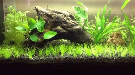 Aquascaping For Beginners by Aquascaping For Beginners Hairgrass