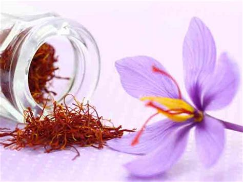 pre order for 2018 saffron crocus 25 bulbs baker creek