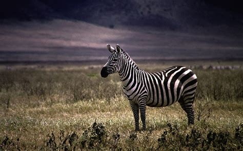 Zebra Animal Wallpaper - nature animals zebras wallpaper allwallpaper in 14368