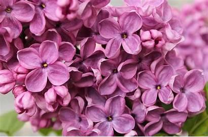 Lilac 4k Flowers Purple 5k Macro Desktop