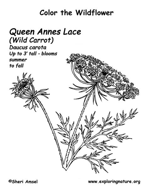 queen annes lace coloring page