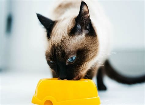 Increased Appetite in Cats | petMD
