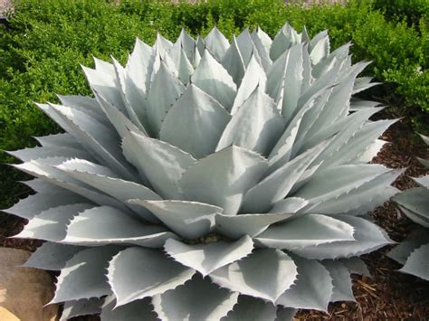 cold hardy agave 10 cold hardy succulents world of succulents