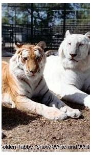 Prolonging me : Time To Speak UP !!: Bengal Tigers: The ...
