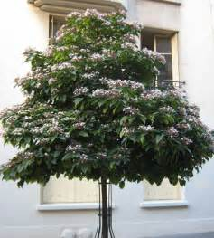 Plant Nursery Norfolk by Clerodendrum Trichotomum Var Fargesii Plants For Sale