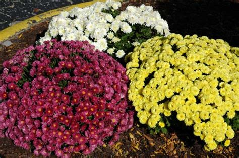 pictures of flowers garden chrysanthemum