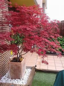 Ahorn Rote Blätter : japanischer ahorn im garten 50 gestaltungsideen ~ Eleganceandgraceweddings.com Haus und Dekorationen