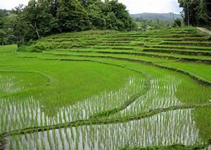 File:Rice fields Chiang Mai.jpg