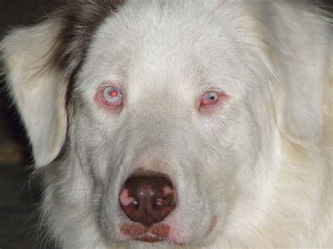 Fileeyes Of A Lethal White Australian Shepherd Jpg