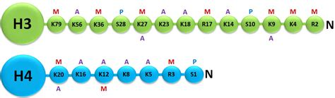 Modification Histone by Histone Modifications What Is Epigenetics Page 2