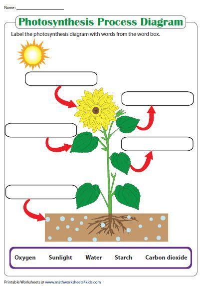 label  photosynthesis diagram photosynthesis