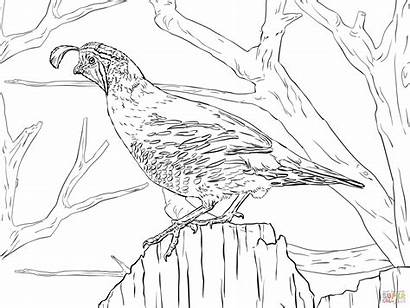 Coloring Quail Pages Realistic California Nature Printable