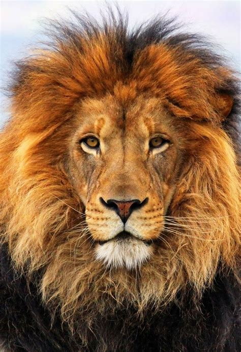 meaning  symbolism   word lion