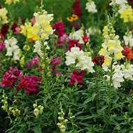 Snapdragon Seeds - Rainbow Mix, Mixed Colo…