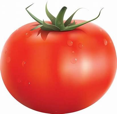 Tomato Clipart Backround Clipground Bush