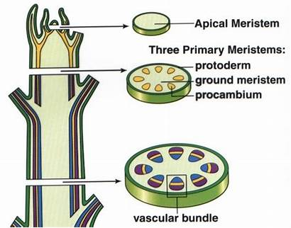 Meristem Apical Plants Elongation Into Roots Shoots