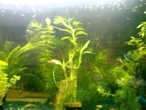 poisson guppy neon tetra combattant neon chinois et ancistrus