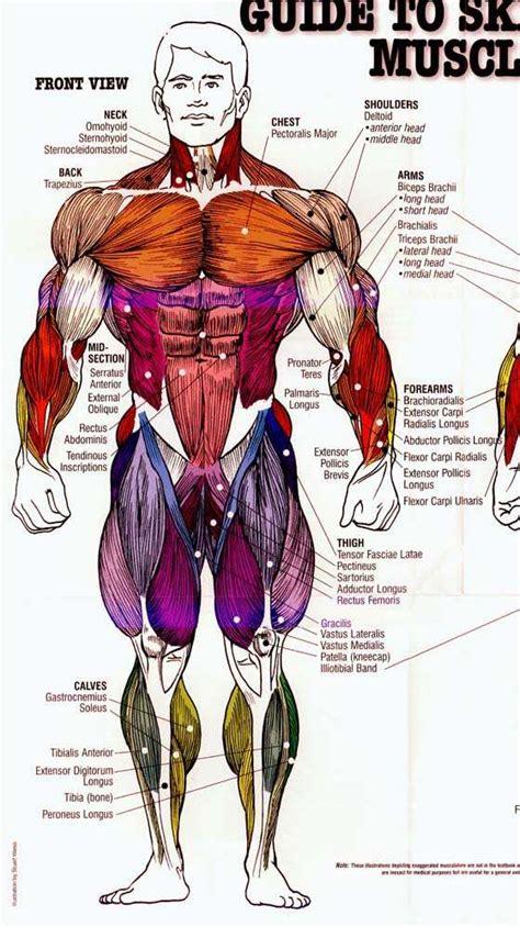 กีฬาเพาะกาย: ดรรชนีกล้ามเนื้อ