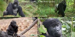 Word For Parents World Gorilla Day Dian Fossey