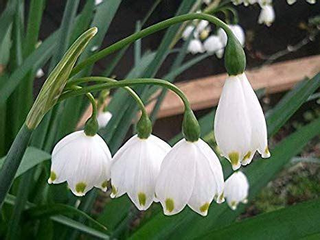 Dārza ABC - Sniegbaltā sniegpulkstenīte. Sniegpulkstenīšu sīpoli 150 gab