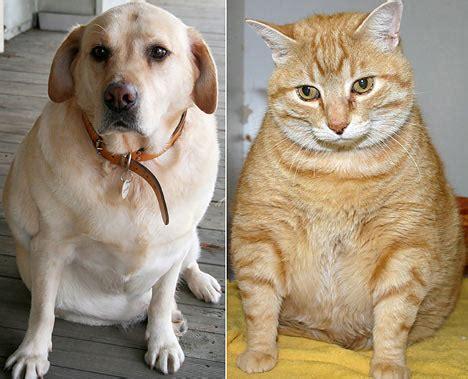 overweight pets animal hospital   rockies llc