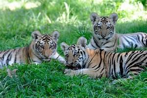 Amur Tiger Cubs Make Their Roaring Debut