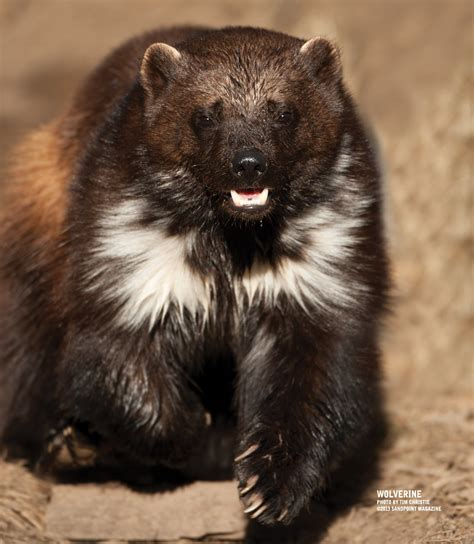 Wolverine Animal Wallpaper - wolverine animal wallpaper wallpapersafari
