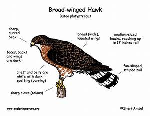 Hawk  Broad