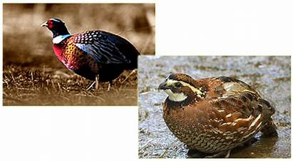 Quail Hunting Afternoon Licensing Pricing