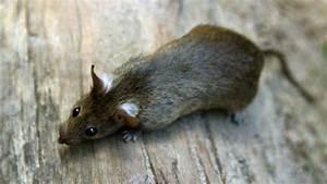 Ratten In Der Wand : ratten biologie der ratte ratten haustiere natur planet wissen ~ Yasmunasinghe.com Haus und Dekorationen