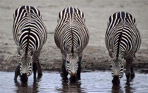 odd ungulates toed zebras animals horses third