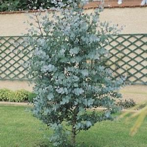 Eucalyptus Plante D Intérieur : eucalyptus 39 baby blue 39 plantes pour jardin japonais pinterest arbre persistant arbuste ~ Melissatoandfro.com Idées de Décoration