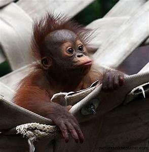 Cute baby Orangutan | apes & monkeys~ my fav animals ...