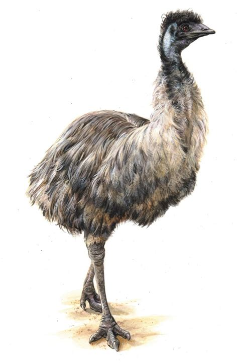 emu pictures kids search