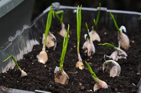 coltivare in casa come coltivare l aglio in casa o in giardino