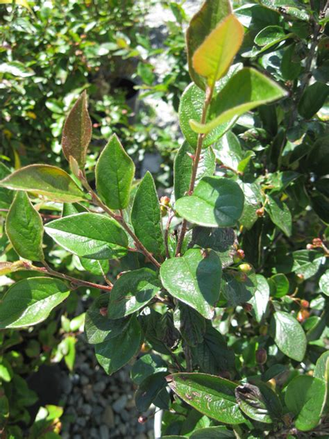the fall of new peking cotoneaster lucidus