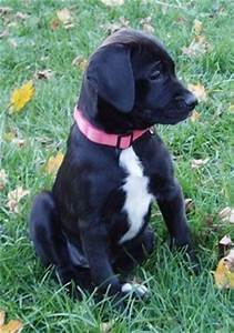American Bullador Dog Breed Information and Pictures
