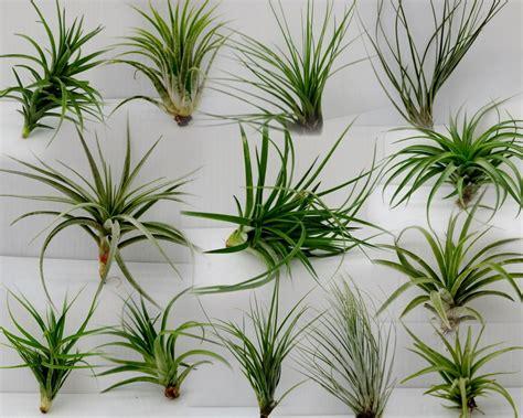 air plants image gallery tillandsia