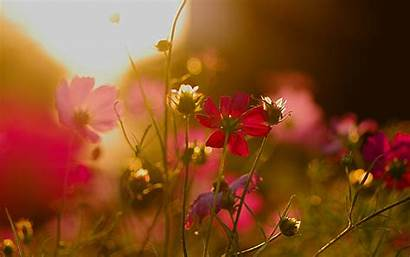 Sunlight Flowers Cosmos Wallpapers Sun Chainimage