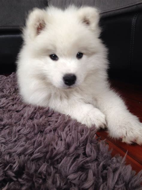 336 Best Samoyeds And Collies ️ Images On Pinterest