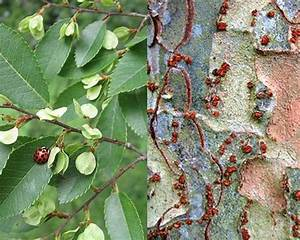 Researchers link Chinese Elm trees with increased fall ...