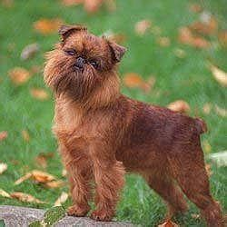 belgian griffon know about temperament health training